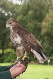 Common Buzzard, Buteo buteo. Common buzzard perched on falconers' gloved hand Royalty Free Stock Photos