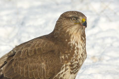 Common buzzard (Buteo buteo) Stock Images