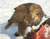 Common buzzard / Buteo buteo Stock Image
