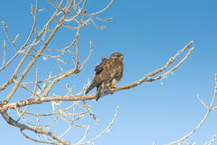 Common buzzard (Buteo buteo) Stock Image