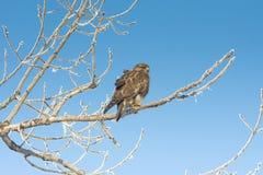 Common buzzard (Buteo buteo) Stock Image