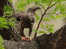 Common Buzzard (Buteo Buteo). This buzzard with his prey, i can photograph in a tree in south africa Stock Photo