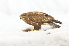 Common buzzard (Buteo buteo) Royalty Free Stock Photos