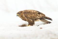 Common buzzard (Buteo buteo) Royalty Free Stock Photos