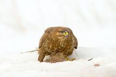 Common buzzard (Buteo buteo) Royalty Free Stock Image