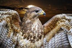 Common Buzzard. Buteo buteo Stock Images