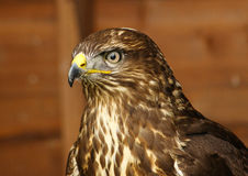 Common Buzzard / Buteo buteo Stock Photography