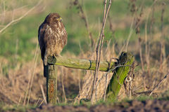 Common Buzzard (Buteo buteo). Royalty Free Stock Photo