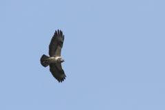 Common Buzzard (Buteo buteo) Stock Photos