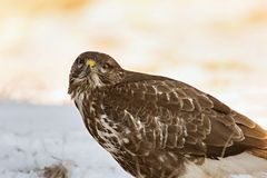 Common buzzard, Buteo buteo - Accipitridae. Buzzard . Royalty Free Stock Photography