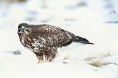 Common buzzard, Buteo buteo - Accipitridae. Buzzard . Predator bird walking on snow. Europe, country Slovakia- Wildlife stock image