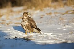 Common buzzard, Buteo buteo - Accipitridae. Buzzard . Predator bird walking on snow. Europe, country Slovakia- Wildlife stock images