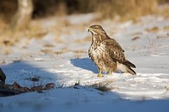 Common buzzard, Buteo buteo - Accipitridae. Buzzard . Predator bird walking on snow. Europe, country Slovakia- Wildlife royalty free stock photo