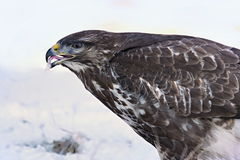 Common buzzard, Buteo buteo - Accipitridae. Buzzard . Predator bird walking on snow. Europe, country Slovakia- Wildlife royalty free stock photography