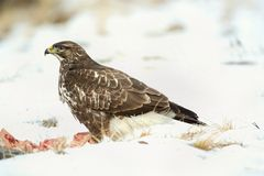 Common buzzard, Buteo buteo - Accipitridae. Buzzard . Predator bird walking on snow and Feeding meat on snow. Europe, country Slovakia- Wildlife royalty free stock photos