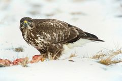 Common buzzard, Buteo buteo - Accipitridae. Buzzard . Predator bird walking on snow and Feeding meat on snow. Europe, country Slovakia- Wildlife stock image