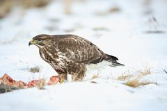 Common buzzard, Buteo buteo - Accipitridae. Buzzard . Predator bird walking on snow and Feeding meat on snow. Europe, country Slovakia- Wildlife stock photos