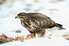 Common buzzard, Buteo buteo - Accipitridae. Buzzard . Royalty Free Stock Photo
