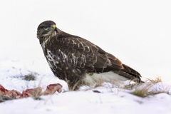 Common buzzard, Buteo buteo - Accipitridae. Buzzard . Predator bird walking on snow and Feeding meat on snow. Europe, country Slovakia- Wildlife stock photo