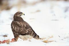 Common buzzard, Buteo buteo - Accipitridae. Buzzard . Stock Photo