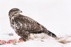 Common buzzard, Buteo buteo - Accipitridae. Buzzard . Predator bird walking on snow and Feeding meat on snow. Europe, country Slovakia- Wildlife royalty free stock image