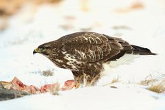 Common buzzard, Buteo buteo - Accipitridae. Buzzard . Predator bird walking on snow and Feeding meat on snow. Europe, country Slovakia- Wildlife stock photography