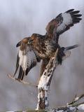 Common buzzard Buteo buteo Royalty Free Stock Image