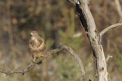 Common buzzard Buteo buteo Royalty Free Stock Images