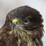 Common Buzzard (Buteo buteo) Royalty Free Stock Photo