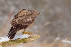 The Common Buzzard - Buteo buteo. In the snow at winter time Stock Image