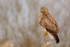 The Common Buzzard - Buteo buteo. In the snow at winter time Stock Photos