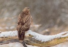 The Common Buzzard - Buteo buteo. In the snow at winter time Stock Photo