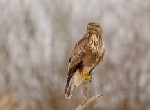 The Common Buzzard - Buteo buteo. In the snow at winter time Royalty Free Stock Photos
