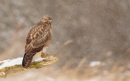 The Common Buzzard - Buteo buteo. In the snow at winter time Royalty Free Stock Photo