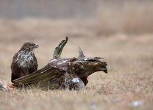 Common buzzard (Buteo buteo) in December in the meadow Royalty Free Stock Image