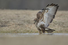 Common buzzard, Buteo Buteo, knee deep in water Royalty Free Stock Photography