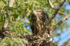 Common buzzard (Buteo buteo). The common buzzard (Buteo buteo) is a medium - large bird of prey, whose range covers large parts of Europe and extends to Asia Stock Photo