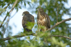 Common buzzard (Buteo buteo). The common buzzard (Buteo buteo) is a medium - large bird of prey, whose range covers large parts of Europe and extends to Asia Stock Photos
