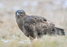 Common buzzard Buteo buteo Stock Image
