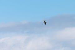 Common Buzzard(Buteo buteo) near Larret in France Stock Image
