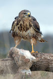Common Buzzard (Buteo Buteo) Stock Photography