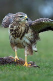 Common Buzzard (Buteo Buteo) Royalty Free Stock Image