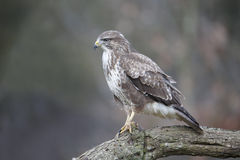 Common buzzard, Buteo buteo Royalty Free Stock Images
