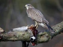 Common buzzard, Buteo buteo Stock Photo