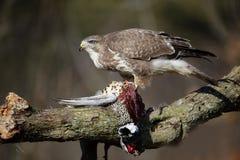 Common buzzard, Buteo buteo Stock Photography