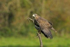 Common buzzard, Buteo buteo stock photos