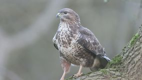 Common buzzard, Buteo buteo stock video