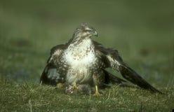 Common buzzard, Buteo buteo Royalty Free Stock Photography