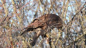 Common Buzzard Buteo buteo sits on a branch and eats lard stock footage