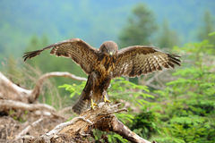 Common buzzard Stock Image